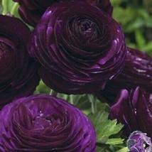 50 Dark Purple Persian Buttercup Seeds Ranunculus Asiaticus Peony Seed -... - $23.95