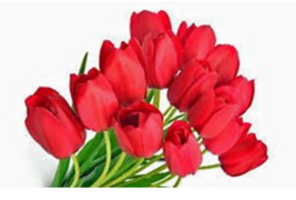 4 bulbs TULIP BULB PACK, RED IMPRESSION, PURE BRIGHT RED PERENNIAL TULIP... - $6.99