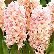 Apricot Hyacinth Bulbs - Pack of 5 - A Uniquely Colored Hyacinth - $15.34
