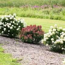 Little QUICK FIRE Hydrangea petite shrub image 4