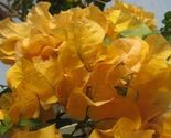 Plant Bougainvillea - 'California Gold' (It's not seeds , It's Plant) - €24,64 EUR