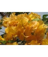 Plant Bougainvillea - 'California Gold' (It's not seeds , It's Plant) - $27.99