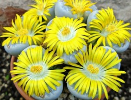 LITHOPS GEYERI, rare living stones exotic mesembs rocks succulent seed 15 SEEDS - $7.99