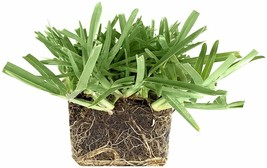 St. Augustine 'Floratam' 3 Inch Sod Plugs - Drought, Salt & Shade Tolerant Grass - $46.98+