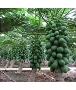 sri lanka hybrid papaya planting Seeds for home garden / pots and large ... - $4.99