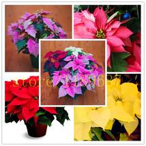 200 pcs Poinsettia Seeds, Euphorbia Pulcherrima,potted Plants, rare Flow... - $4.99