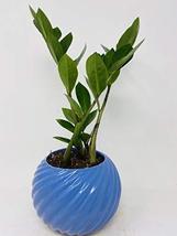 ZZ Zamioculcas zamiifolia Tornado Blue Ceramic Pot - $28.41