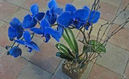 5 Blue Orchid Flower Seeds-1181A - $2.98