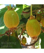 SHIP FROM US HARDY KIWI FRUIT Plant - Edible Fruit Vine Actinidia delici... - $40.00