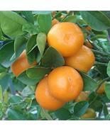 "Live Plant Meiwa Kumquat Trees Real 3""- 6"" Citrus Fruit Landscaping Star... - $34.64"