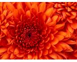 Chrysanthemum thumb155 crop