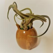 "Kangaroo Pot with Curly Air Plant, Ceramic Animal Planter 2"", Live Tillandsia image 4"