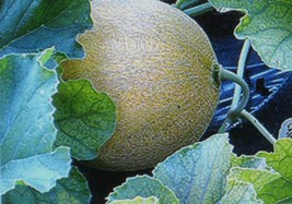 SHIPPED FROM US 14 Jumbo Cantaloupe Deep Orange Flesh Huge Seed, JK05 - $9.92