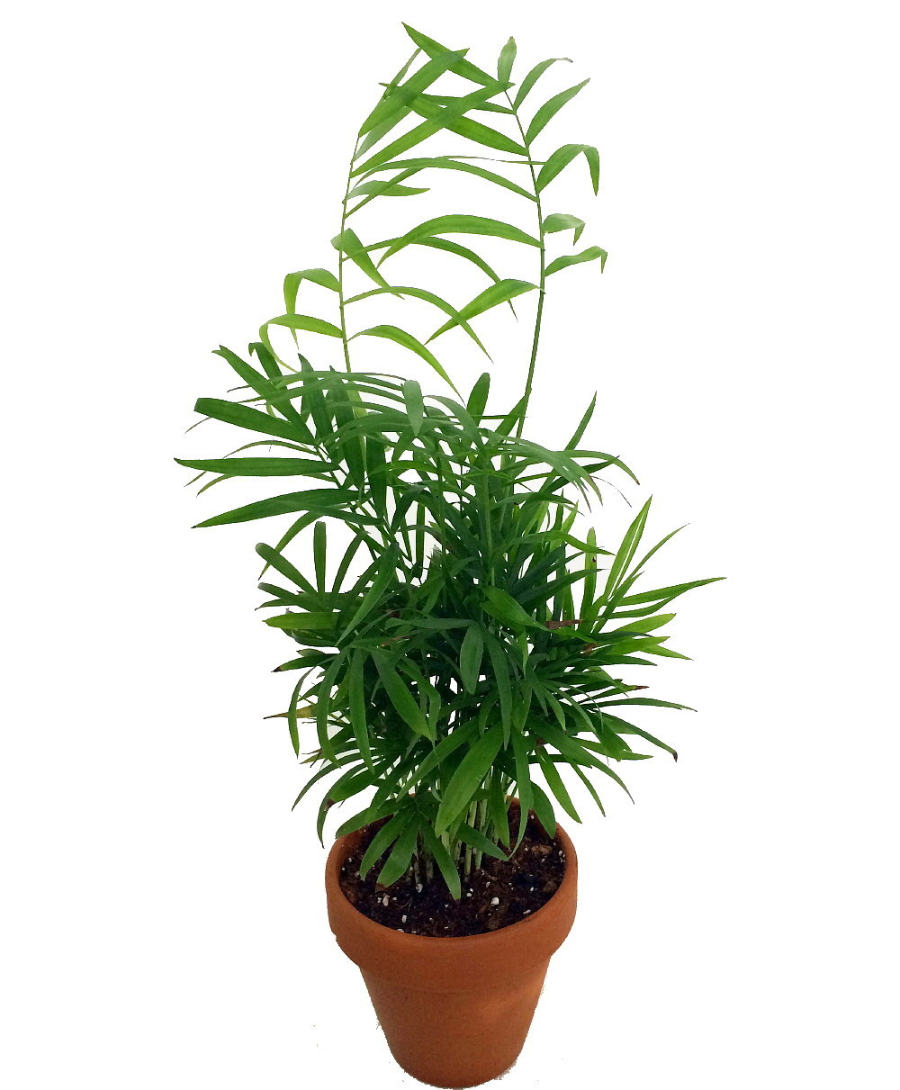 "Primary image for 4"" Pot  Houseplant Victorian Parlor Palm Chamaedorea Indestructable Home Garden"