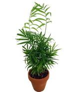 "4"" Pot  Houseplant Victorian Parlor Palm Chamaedorea Indestructable Home... - $40.00"