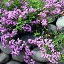 SHIP FROM US 200 Rock Soapwort Rose-pink Flower Seeds (Saponaria), UTS04 - $11.98