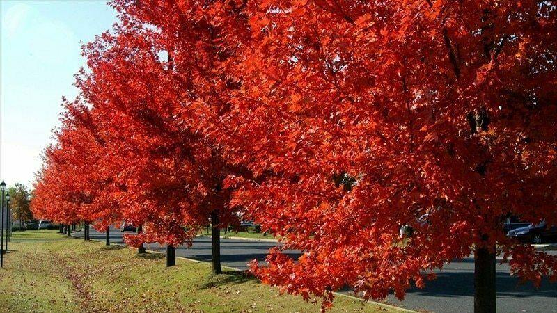 Brandywine Maple qt. pot