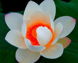 5pcs Very Gorgeous Red Heart Lotus Flower Seeds Aquatic IMA1 - $14.83