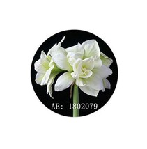 HAPPY FLOWER 2 Bulbs LOWOKWARU True Hippeastrum Rutilum Amaryllis Love S... - $1.78