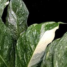 "Spathiphyllum Domino Peace Lily Live Plant Easy Indoor 6"" Pot Houseplant... - $9.99"