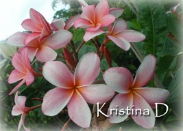 Fragrant Rare Exotic ~ Kristina D~ Exclusive Plumeria Frangipani cutting - $13.95