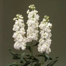 Stock White Flower 100 Seeds #UDS14 - $22.17