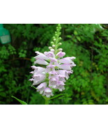Organically-grown Native Plant, Obedient Plant, Physostegia virginiana - $3.50