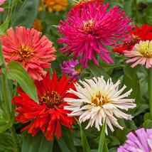 30 Seeds - Organic - Zinnia Cactus Mix Flower - $3.99