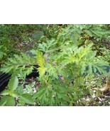 Mugwort/Dried Mugwort Herb/Whole Mugwort Leaves/Artemisia Vulgaris Herb/... - $15.19