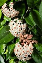 """6"""" Pot Hoya Green Wax Plant Indoor Great Live Houseplant Garden & Outdoor Living - $117.99"""