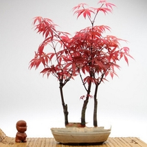 60 Seed Rare Red Chinese Maple Seeds Acer Bonsai, DIY Beautiful Tree DO - $21.99