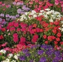 8 Variety Fresh Seeds Flower Verbena Ideal Florist Mix #IMA33 - $13.50+