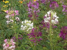 SHIP FROM US 6,000 Cleome Colorful Mix Seeds - Spider Plant, ZG09 - $31.96