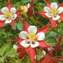 Columbine (Aquilegia Caerulea) Crimson Star- 50 seeds - $3.98