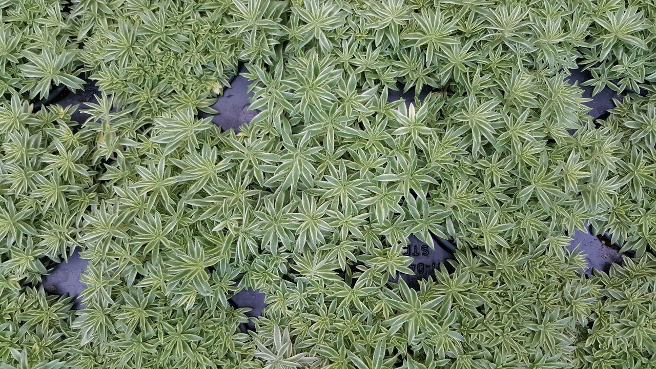 "Variegated Sedum - Sedum lineare variegatum - 4"" Pot"