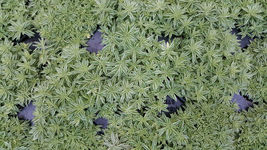 "Variegated Sedum - Sedum lineare variegatum - 4"" Pot - $31.79"