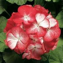 50 Red Geranium Seeds Hanging Basket Perennial Flowers Shrub Flower - TTS - $29.95