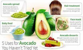 2 Organic Avocado Seeds, Non-GMO, Variety: Hass image 8