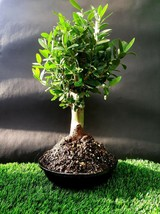 Olive tree Bonsai Nabali Mohassan very old plant A 15 year old tree - $244.80