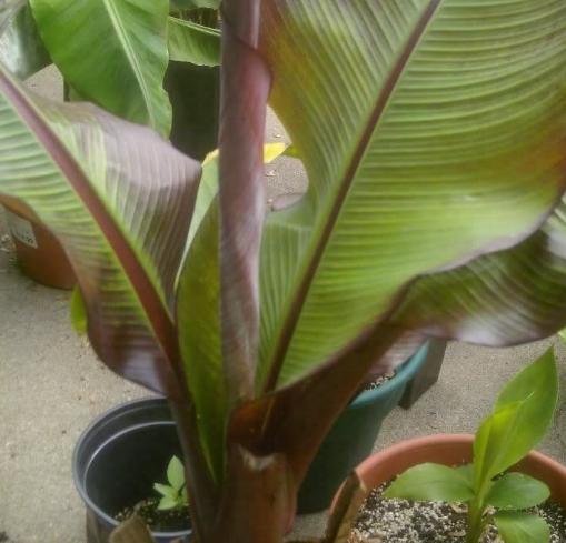 1 Starter Plant - Ensete Maurelii Red Abyssinian Banana Potted #GGD9 - $29.99