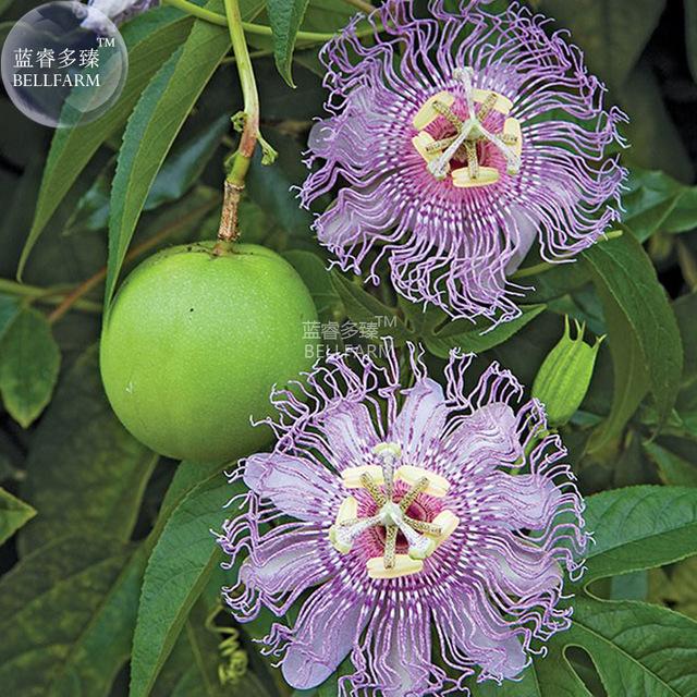BEST PRICE Passiflora Incarnata Maypop Passion Flower Seeds, 30 seeds LG