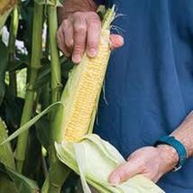 25 World's Sweetest Corn-1252 - $3.98