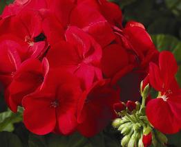 10pcs Geranium Maverick Scarlet Perennial Flower Seeds Very Graceful IMA - $14.99