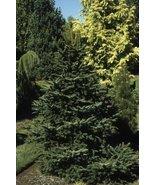 1 Starter Plant of Abies Cephalonica 'Meyer's Dwarf' - Meyer's Dwarf Gre... - $477.18
