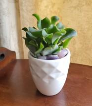 Ripple Jade Succulent in White Ceramic Planter Pot, with Rose Quartz Stones