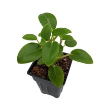 "Live Plant - Cupid Peperomia - Easy House Plant - 2.5"" Pot - Houseplant ... - $47.00"