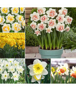 20Pcs Double Narcissus Duo Bulbs Scented Pastel Mixed Daffodil Spring Fl... - $1.99