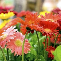 20 Bulbs Daisy Assorted colors Flower - $14.59