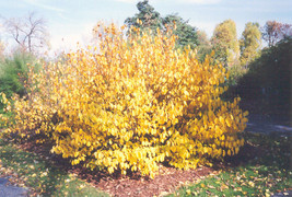 SPICE BUSH Pond Berry- (Lindera melissifolia) image 2
