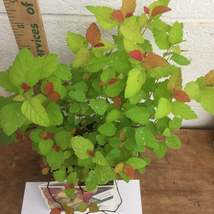 Double Play Candy Corn Spirea image 2
